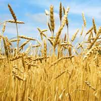 Хлебные колосья в поле
