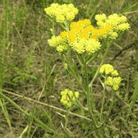 Лечебное растение бессмертник