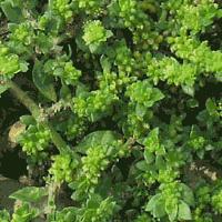 Лечебная трава грыжник голый