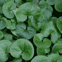 Лечебная трава копытень
