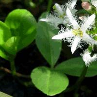 Вахта трехлистная - лечебная трава