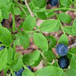 Народное лечение сахарного диабета листьями черники