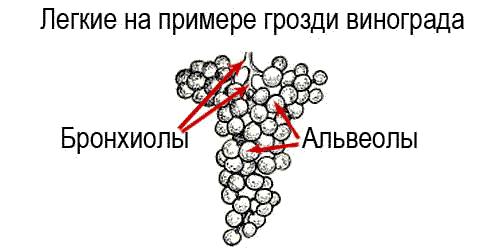 Бронхиолы и альвеолы