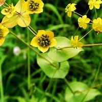 Лечебная трава - володушка золотистая