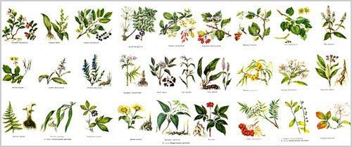 Каталог - справочник лекарственных растений