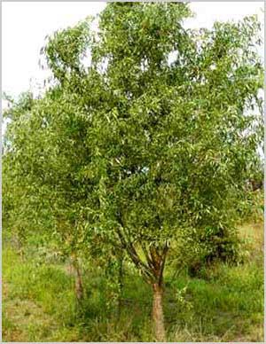 Ива, дерево