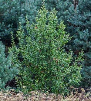 Полезные свойства лесной яблони