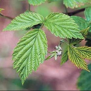 листья малины польза