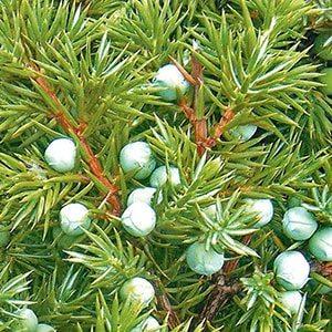 зеленые ягоды можжевельника