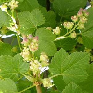 Фрагмент цветущего куста смородины