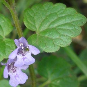Лист и цветок будры плющевидной