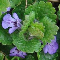 Цветок плющевидной будры