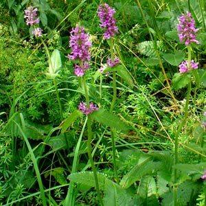 Несколько растений буквицы лекарственной