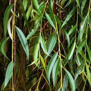 Листья плакучей ивы
