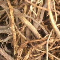 Солодки корневища