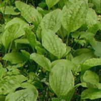 Лекарственное растение подорожник