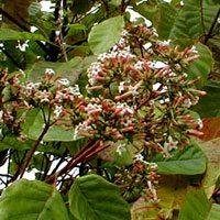 ветки и цвет хинного дерева
