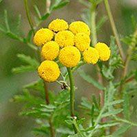 Цветки пижмы желтые