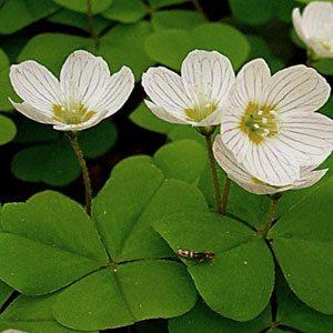 цветки кислицы