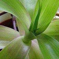 Южное растение - ус золотой