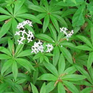 Лекарственное растение ясменник