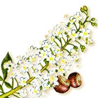 цветки и плоды каштана