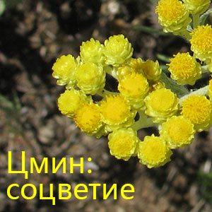 Соцветие цмина