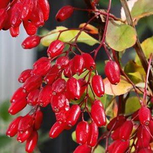 Блестят ягоды барбариса