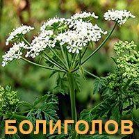 Лекарственное растение болиголов