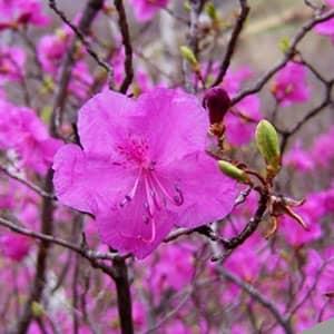 Багульник розовый