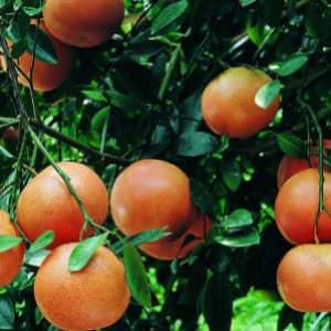 Грейпфрут описание