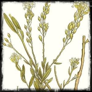 Икотник ботаническое описание