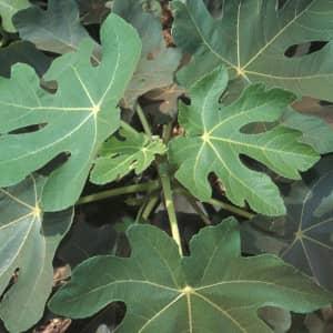 Инжир листья лечение