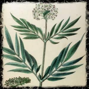 Бузина ботаника описание
