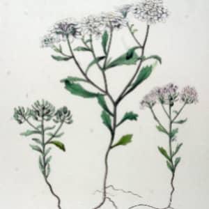 Иберийка горькая ботаническое описание