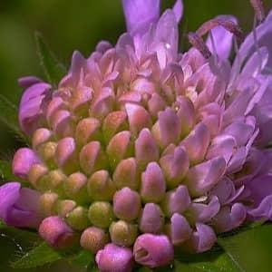 Короставник полевой состав