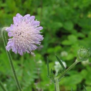 Короставник полевой применение