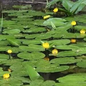 Кубышка желтая растение