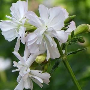 Мыльнянка лекарственная цветы