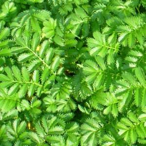 Трава лапчатки гусиной
