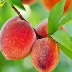 Персик обыкновенный состав и свойства